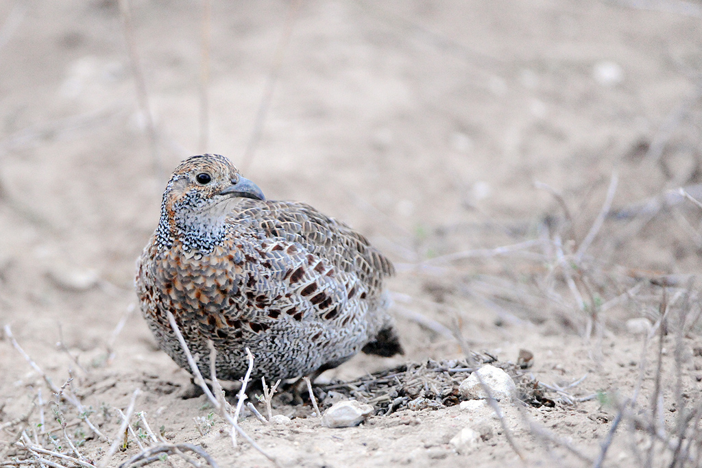 Grey-winged Francolin / West Coast National Park, South Africa / 23 May 2015