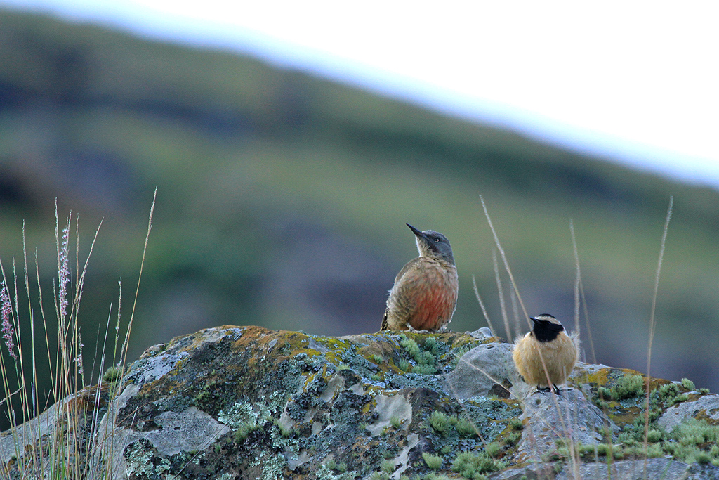 Ground-Woodpecker_Giants-Castle,-Drakensberg,-South-Africa_29-March-2013-86