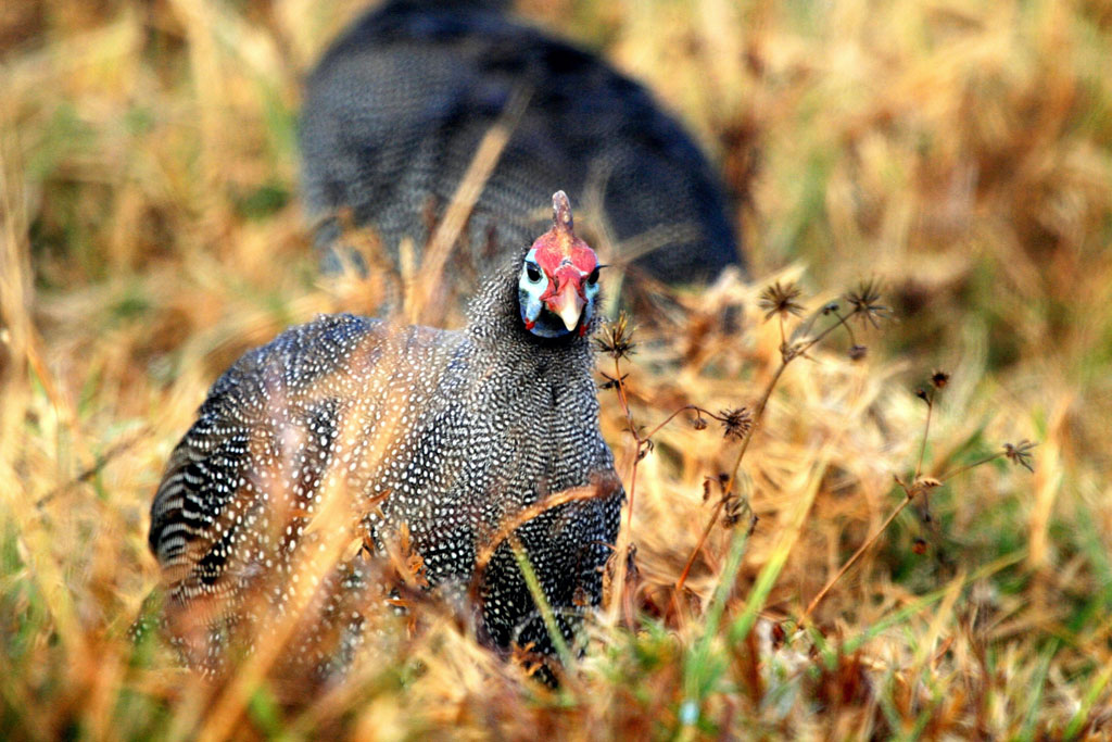 Helmeted Guineafowl / Rietvlei Nature Reserve, South Africa