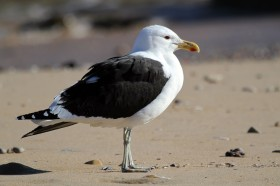 Kelp Gull / Knysna, South Africa