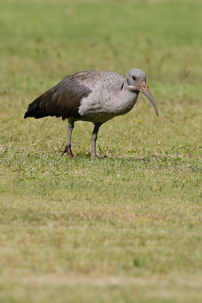 Hadida Ibis / Giant's Castle Gardens, Underberg, KZN, South Africa / 16 April 2015