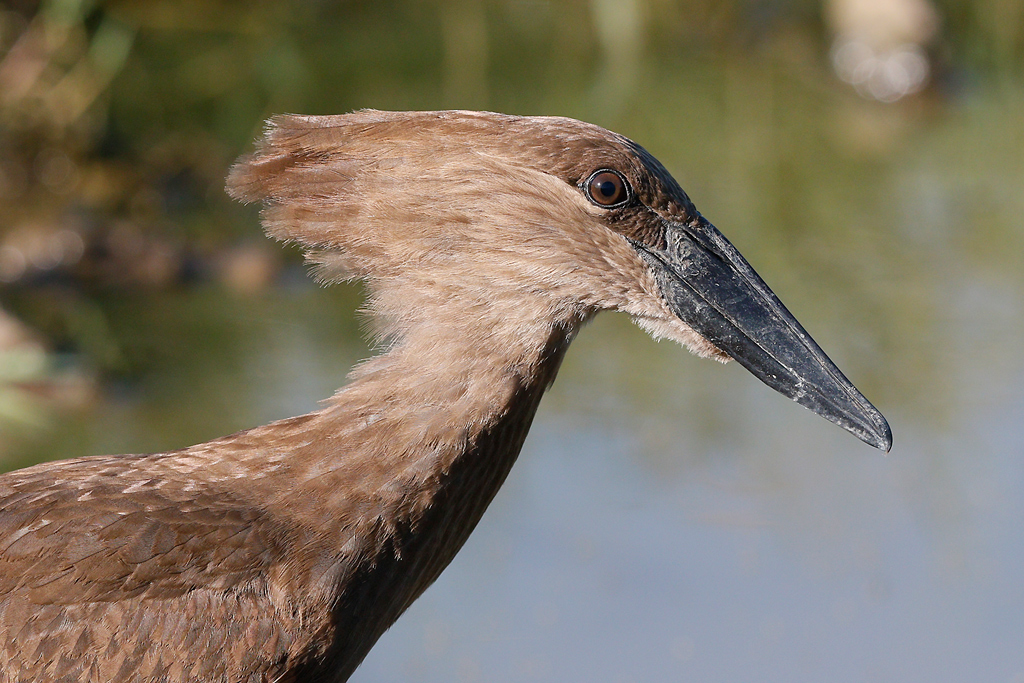 Hamerkop / Kgomo Kgomo, North West Province, South Africa / 17 January 2015