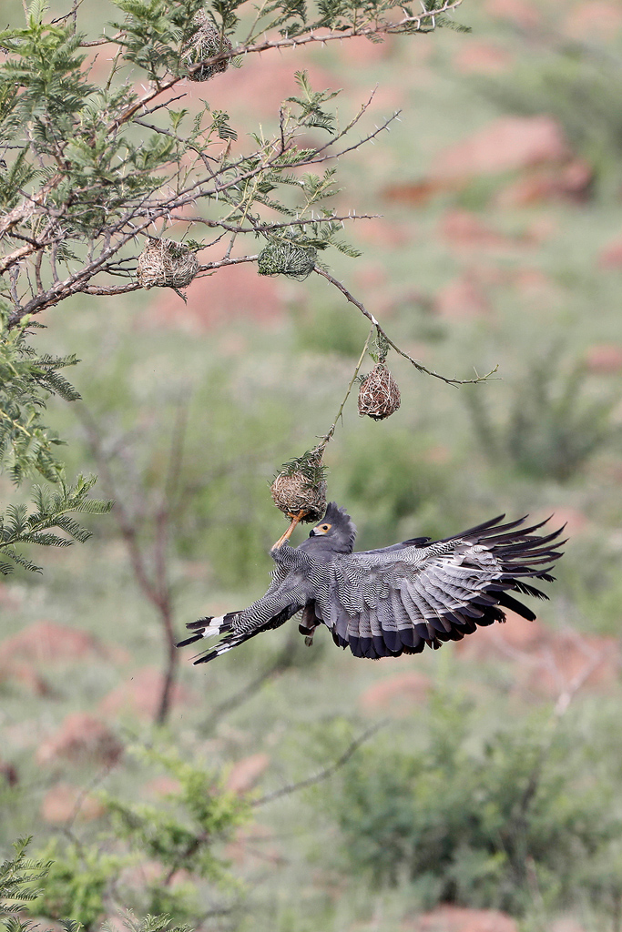 An African Harrier Hawk raids a weaver's colony at Nambithi Game Reserve near Ladysmith, South Africa