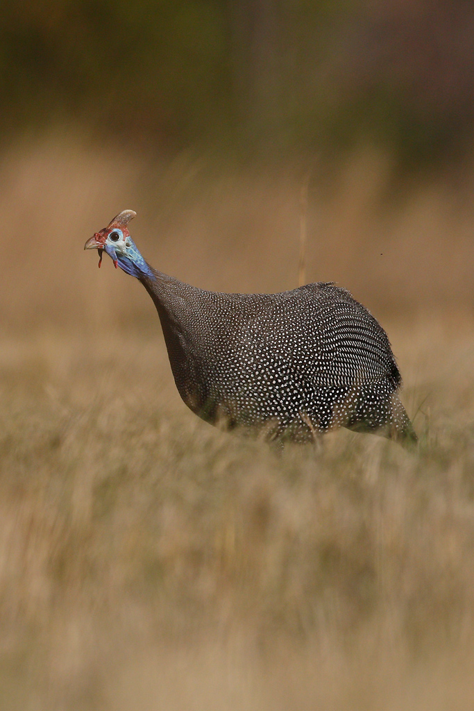 Helmeted Guineafowl / Kololo Game Reserve, Vaalwater, South Africa / 26 September 2015