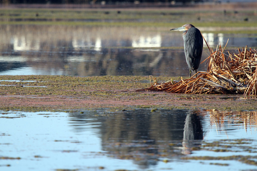 Goliath Heron / Marievale Bird Sanctuary, South Africa