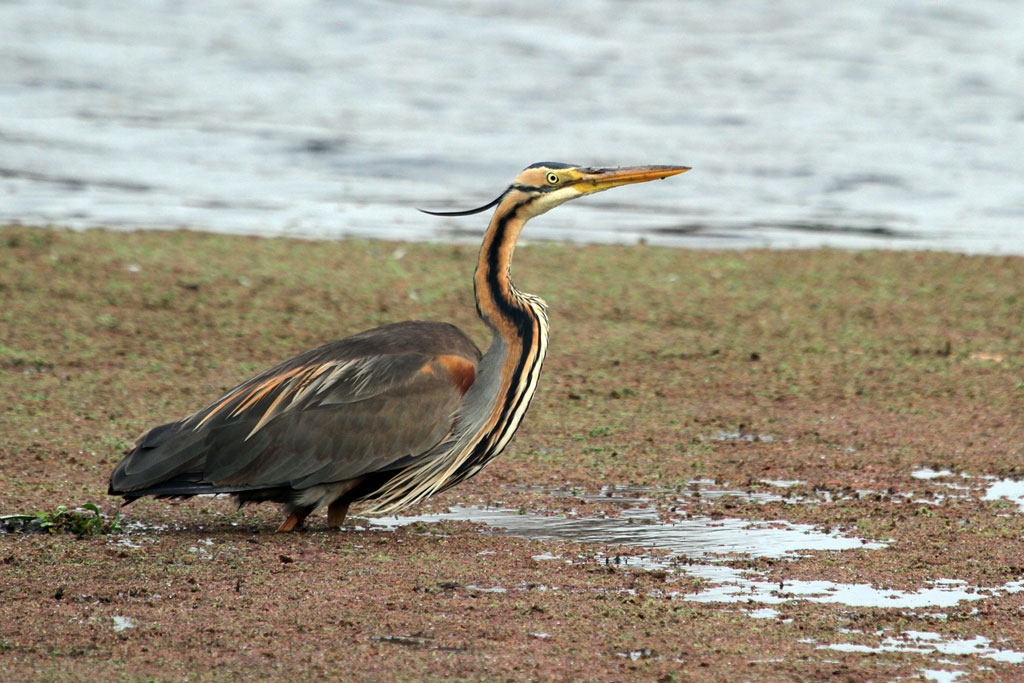 Purple Heron / Marievale Bird Sanctuary, South Africa