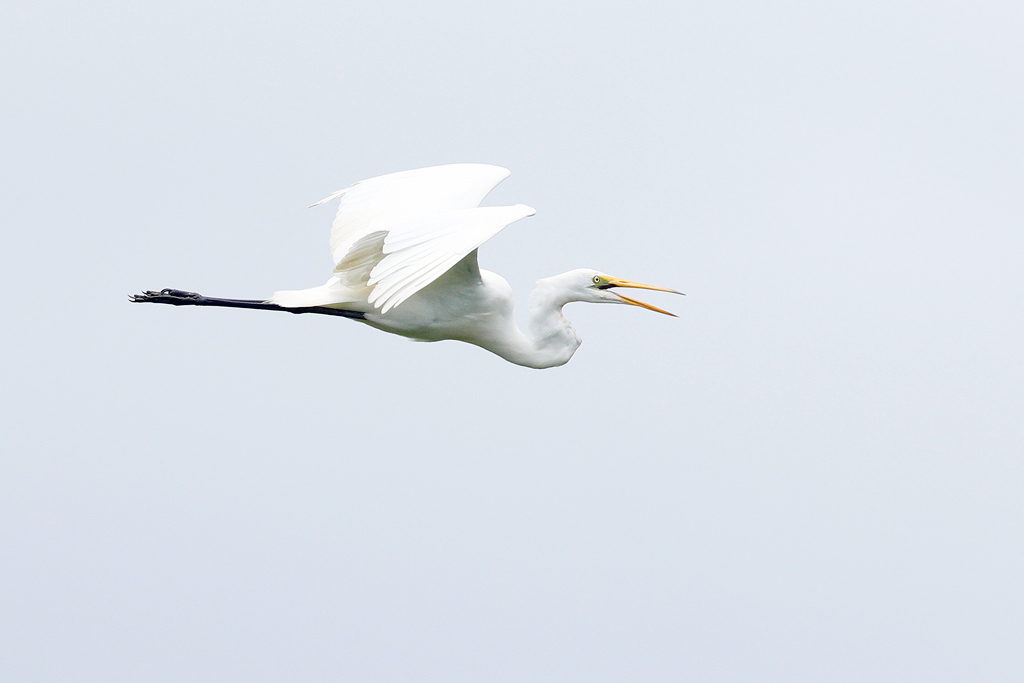 Great Egret / Hluhluwe, KwaZulu Natal, South Africa