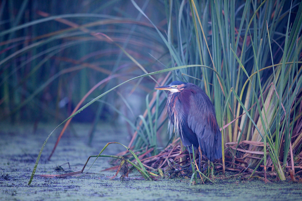 Purple Heron / Marievale Bird Sanctuary, Nigel, South Africa