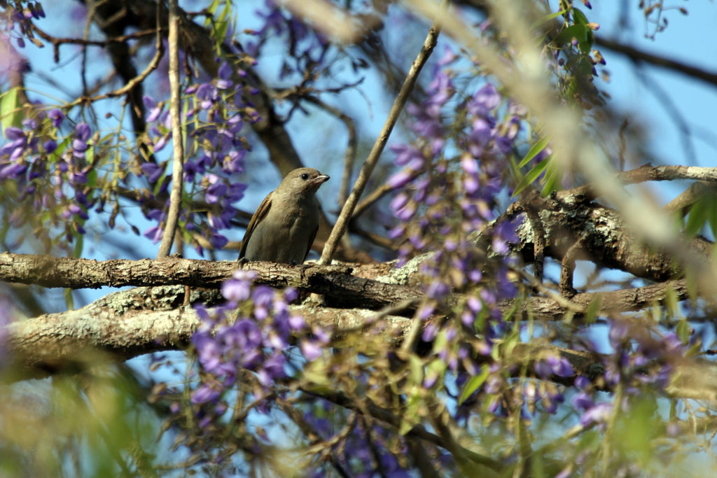 Lesser Honeyguide / Ndumo Nature Reserve, South Africa
