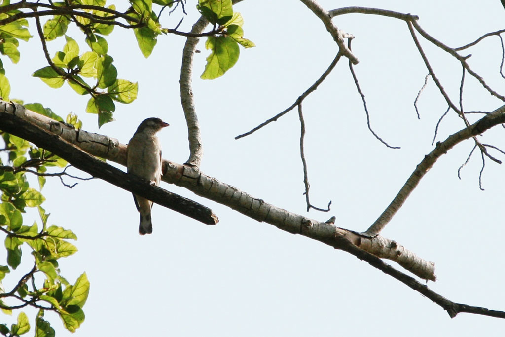 Scaly-throated Honeyguide / Ndumo Game Reserve, South Africa