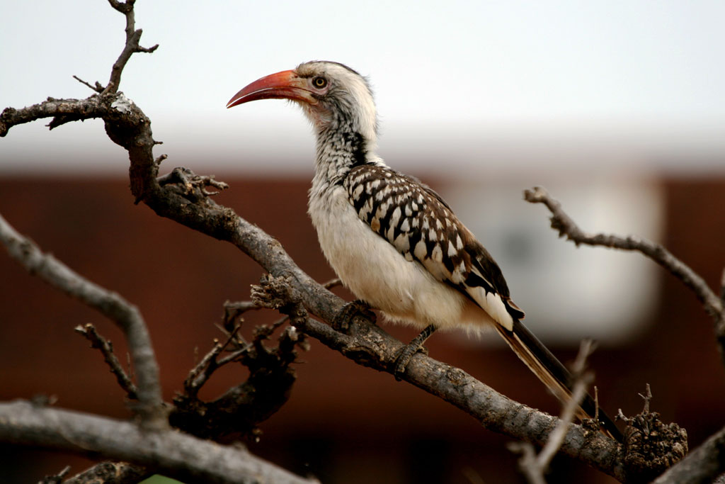 Red-billed Hornbill / Pilansberg Nature Reserve, South Africa