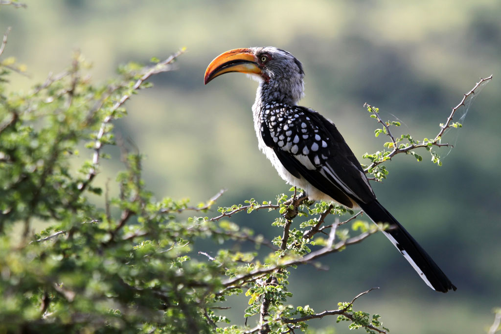 Southern Yellow-billed Hornbill / Pilansberg National Park, South Africa