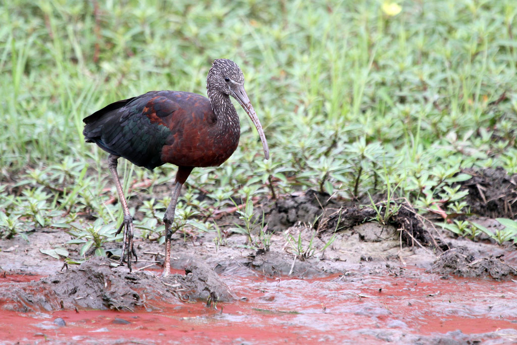 Glossy Ibis / Mkhombo Dam Nature Reserve, South Africa