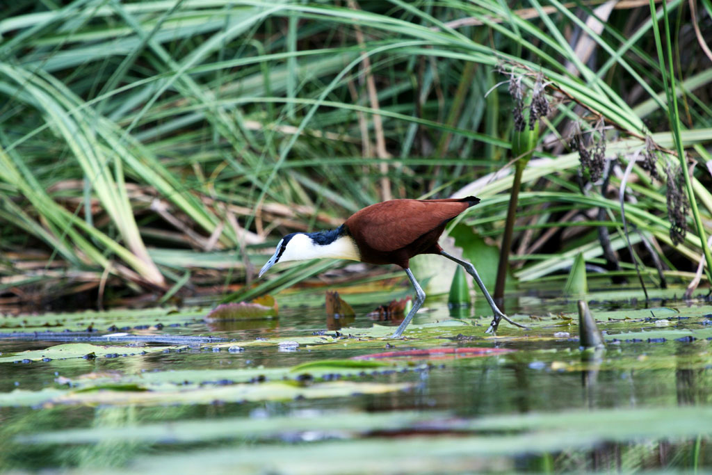 African Jacana / Kosi Bay, South Africa