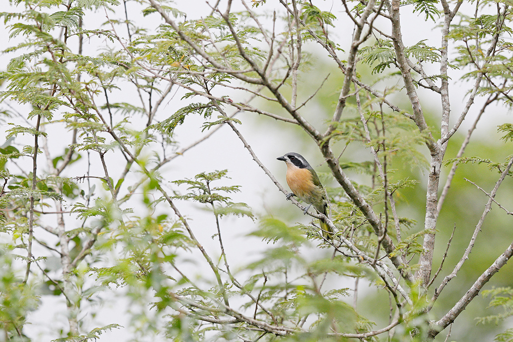 Olive Bushshrike / Karkloof Nature Reserve, KwaZulu Natal, South Africa / April 2017
