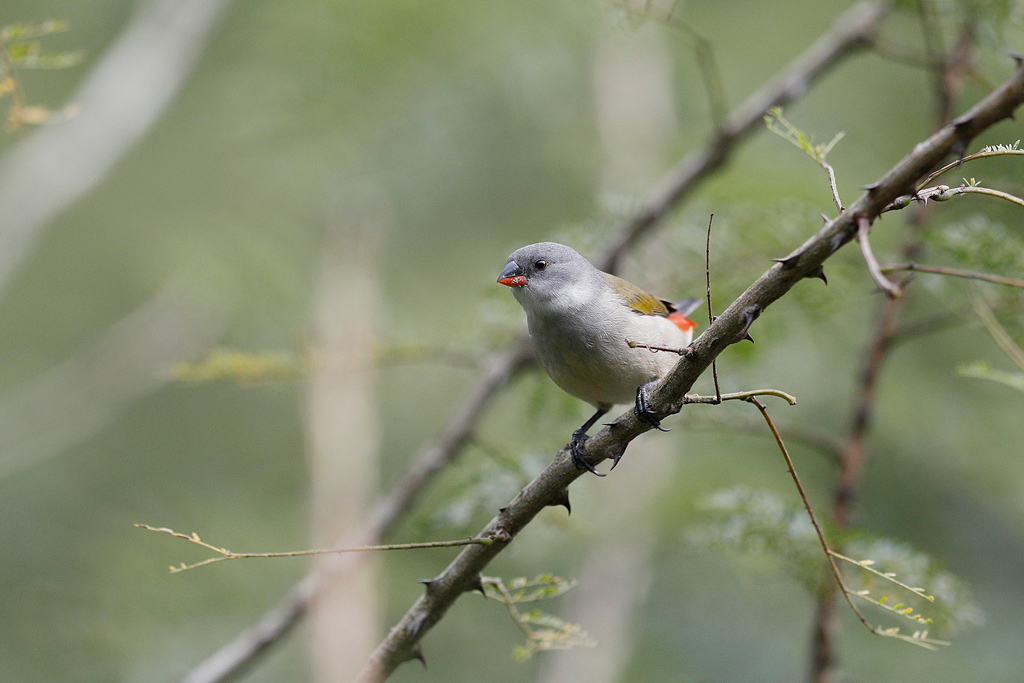 Swee Waxbill / Karkloof, South Africa