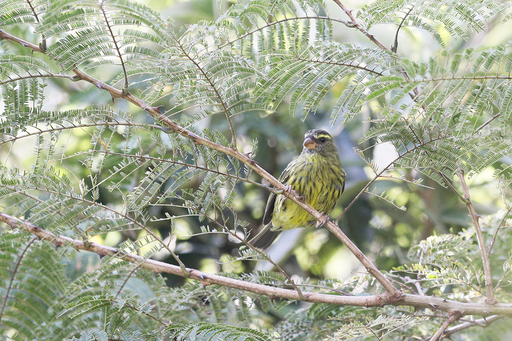 Forest Canary / Karkloof, South Africa