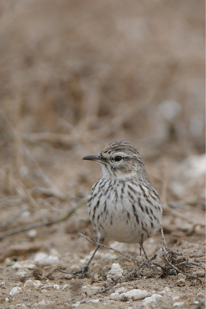 Karoo Lark / West Coast National Park, South Africa / 23 May 2015