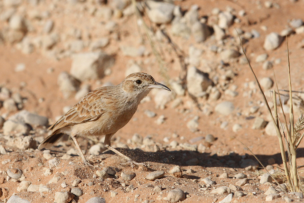 Spike-heeled Lark / Kgalagadi Transfrontier Park, South Africa / 24 August 2014