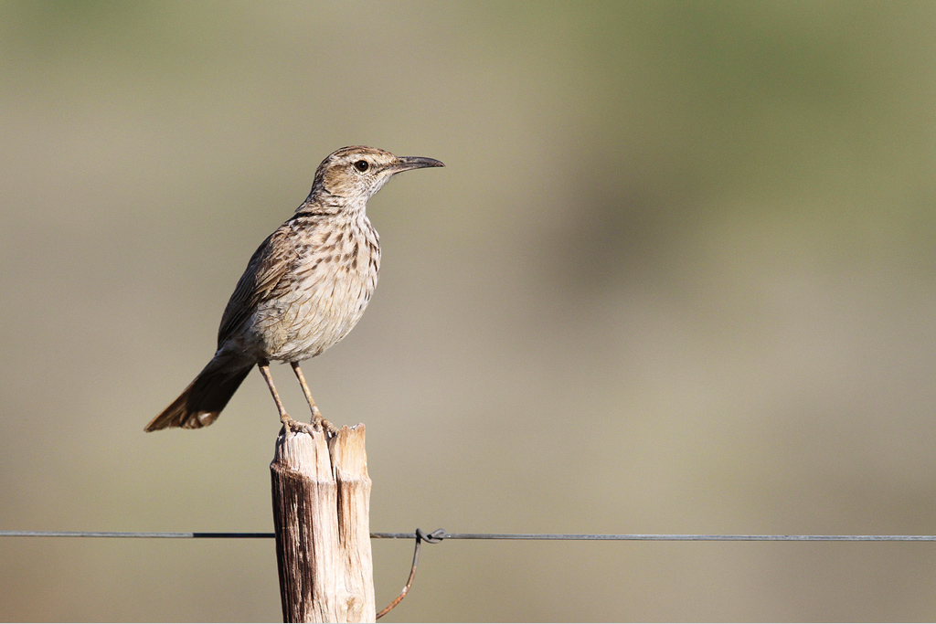 Karoo Longbilled Lark / Prince Albert (Gamkapoort Dam Road), South-Africa / 27 December 2013