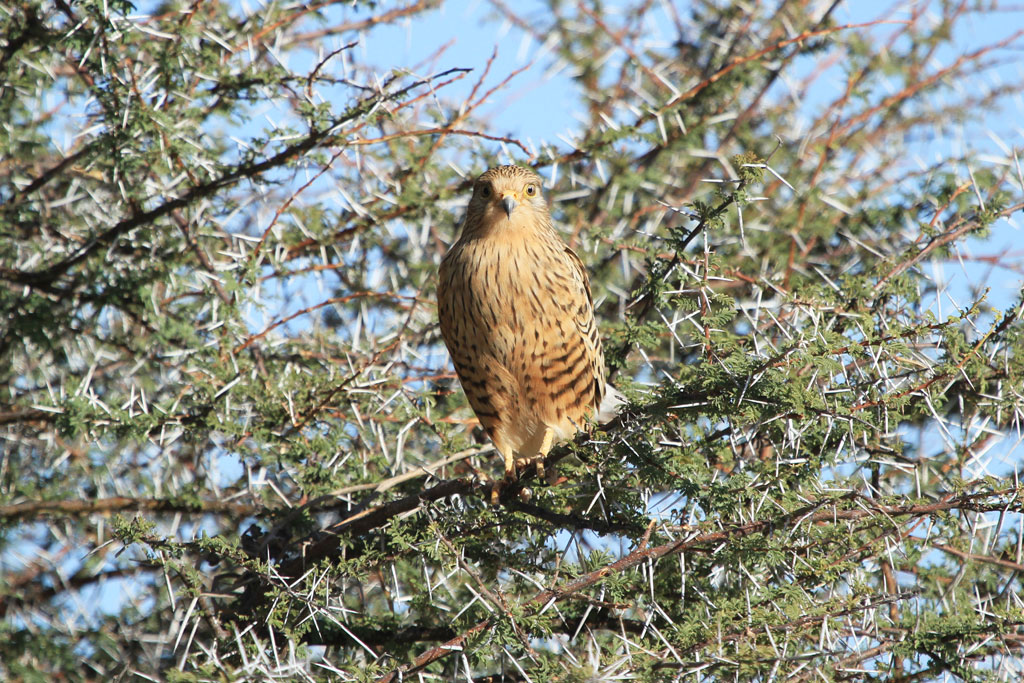 Greater Kestrel / Etosha, Northern Namibia