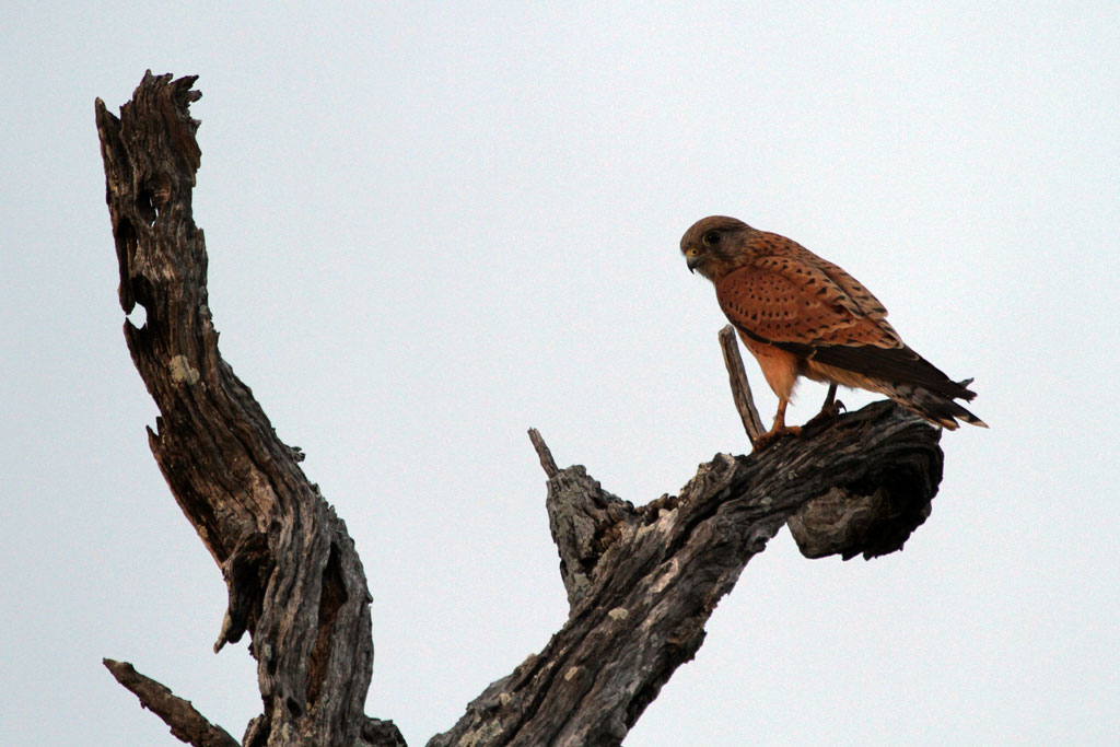 Rock Kestrel / Northern Kruger National Park, South Africa