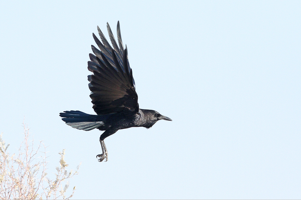 Cape or Black Crow / Kgalagadi Transfrontier Park, South Africa / 20 June 2014