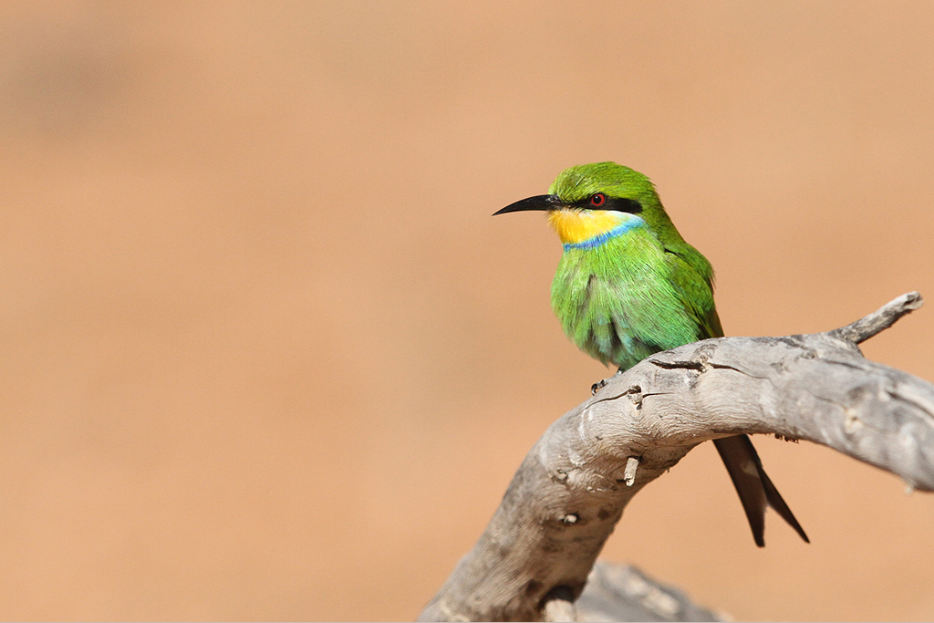 Swallow-tailed Bee-eater / Kgalagadi Transfrontier Park, South Africa / 16 June 2014