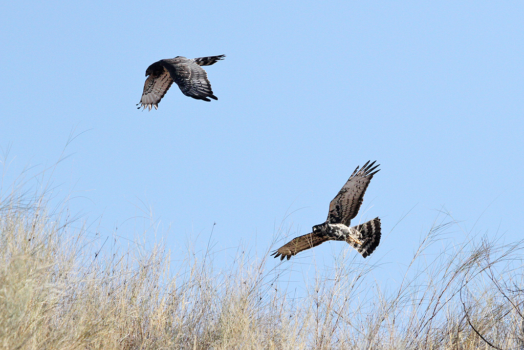 Black Harrier / Kgalagadi Transfrontier Park, South Africa / 17 June 2014