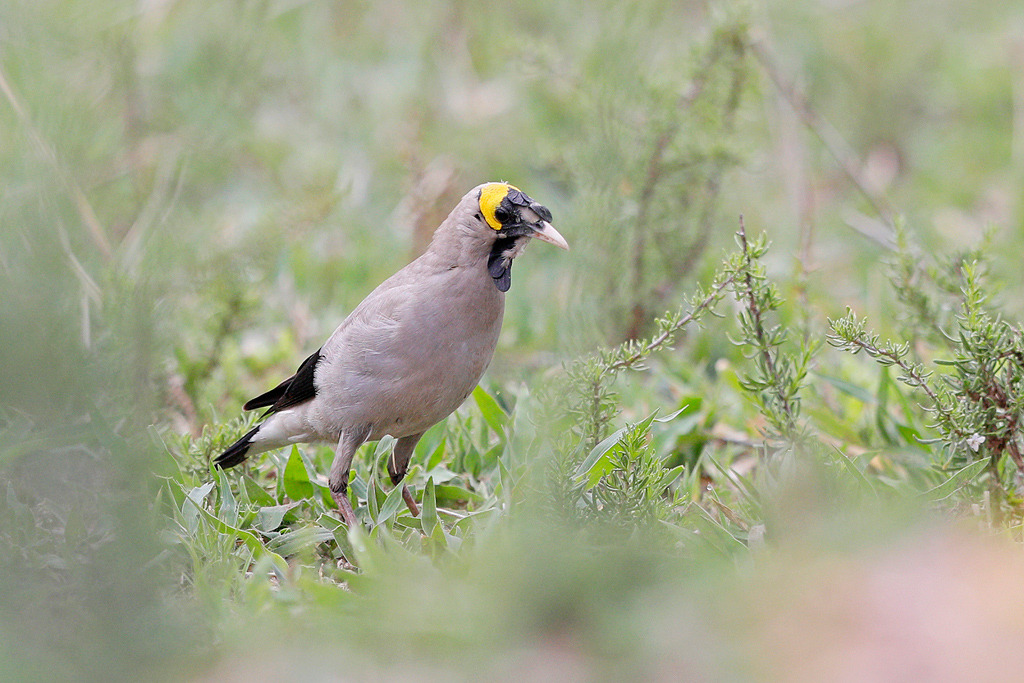 Wattled Starling /Kgomo Kgomo, North West Province, South Africa / 02 December 2017