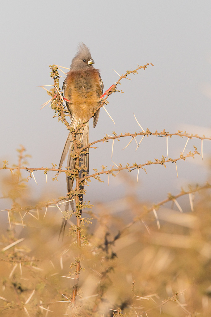 White-backed Mousebird / Kgomo Kgomo, North West Province, South Africa / May 2018