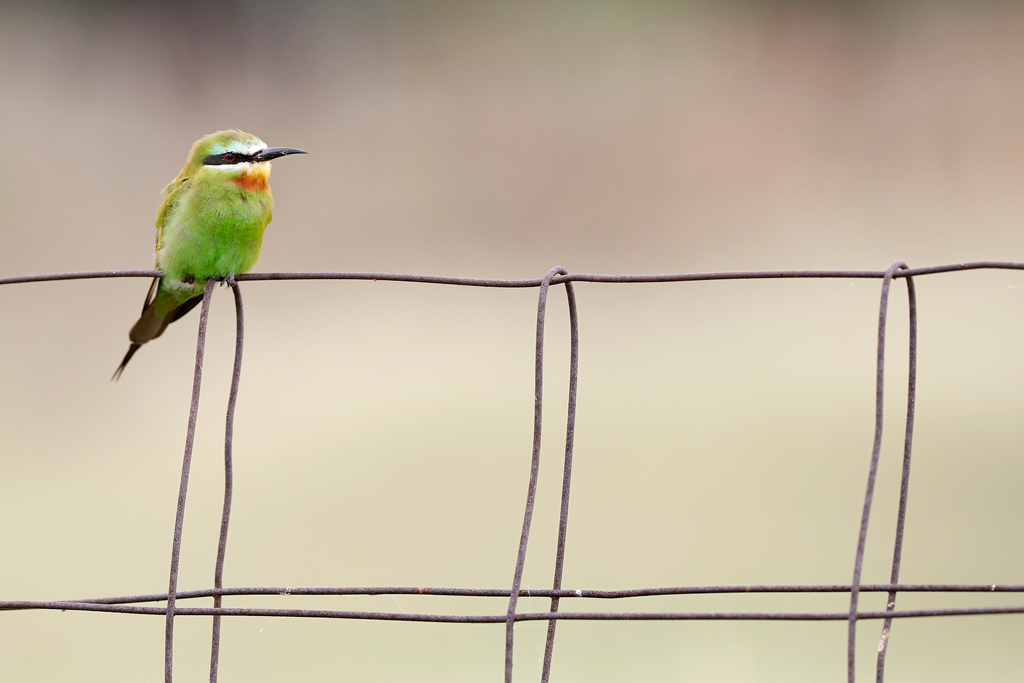 Blue-cheeked Bee-eater / Kgomo Kgomo, North West Province, South Africa / February 2020