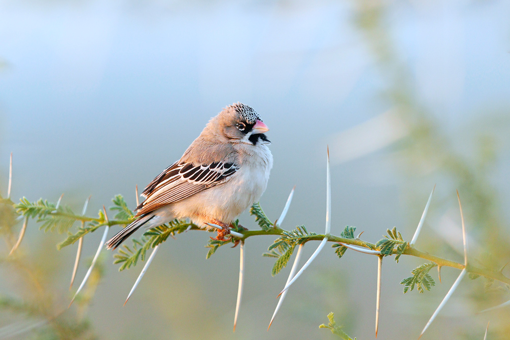 Scaly-feathered Finch / Kgomo Kgomo, North West Province, South Africa