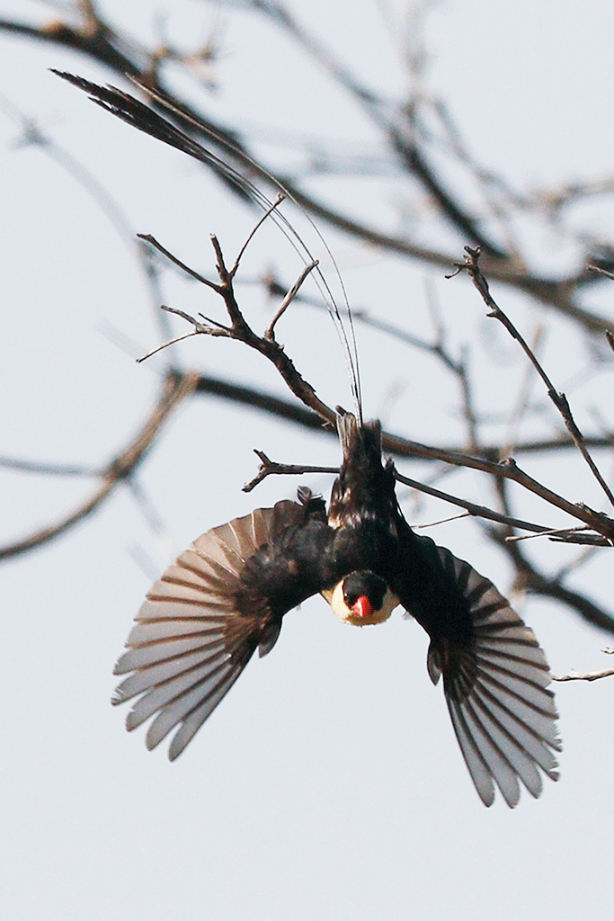 Shaft-tailed Whydah / Borakalalo National Park, North West Province, South Africa