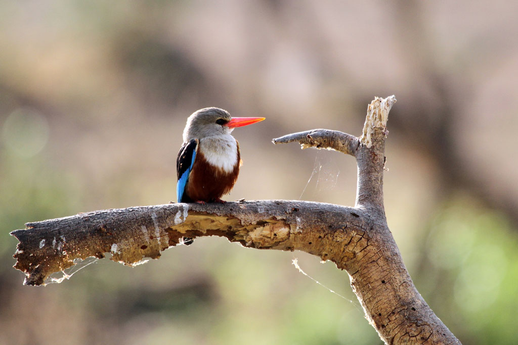 Grey-headed Kingfisher / Tsavo West National Park, Kenya