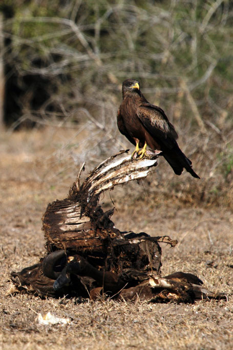 Yellow-billed Kite / Ndumo Game Reserve, South Africa