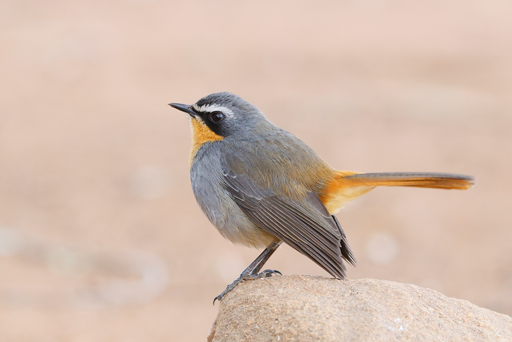Cape Robin-chat / Kololo Game Reserve, Waterberg, South Africa / 03 August 2015