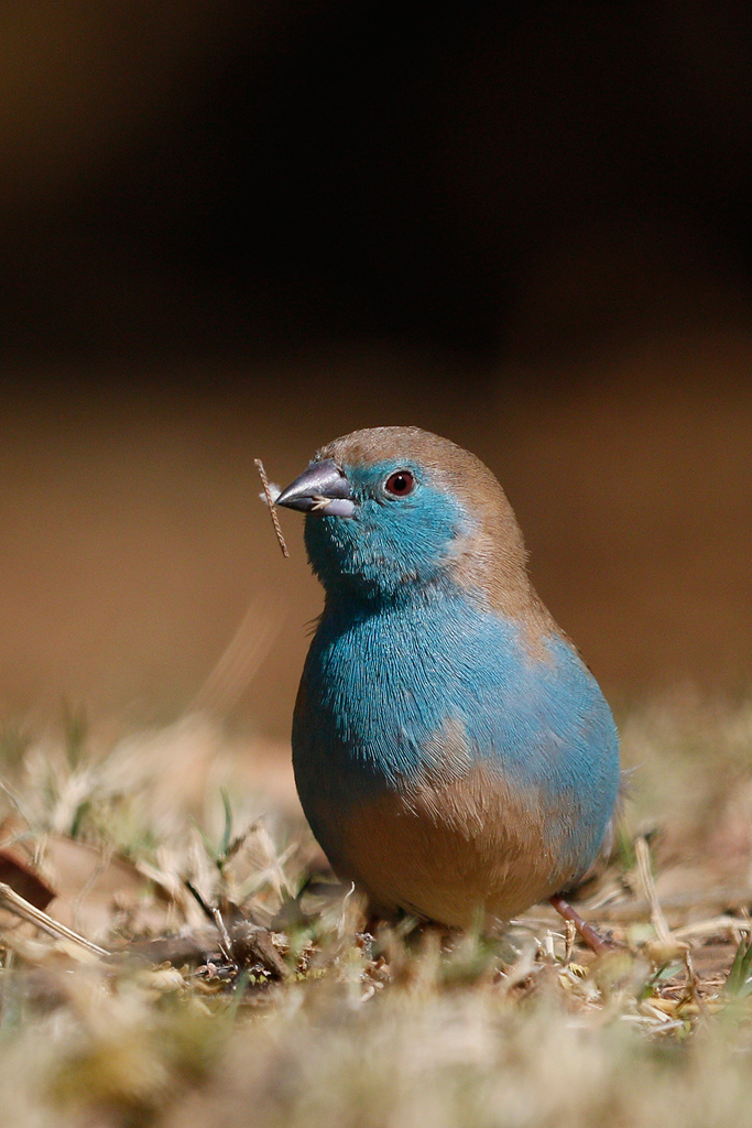 Blue Waxbill / Kololo Game Reserve, Waterberg, South Africa / 02 August 2015