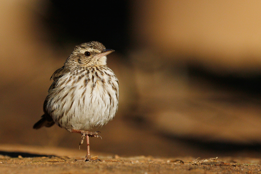 Striped Pipit / Kololo Game Reserve, Waterberg, South Africa / 02 August 2015