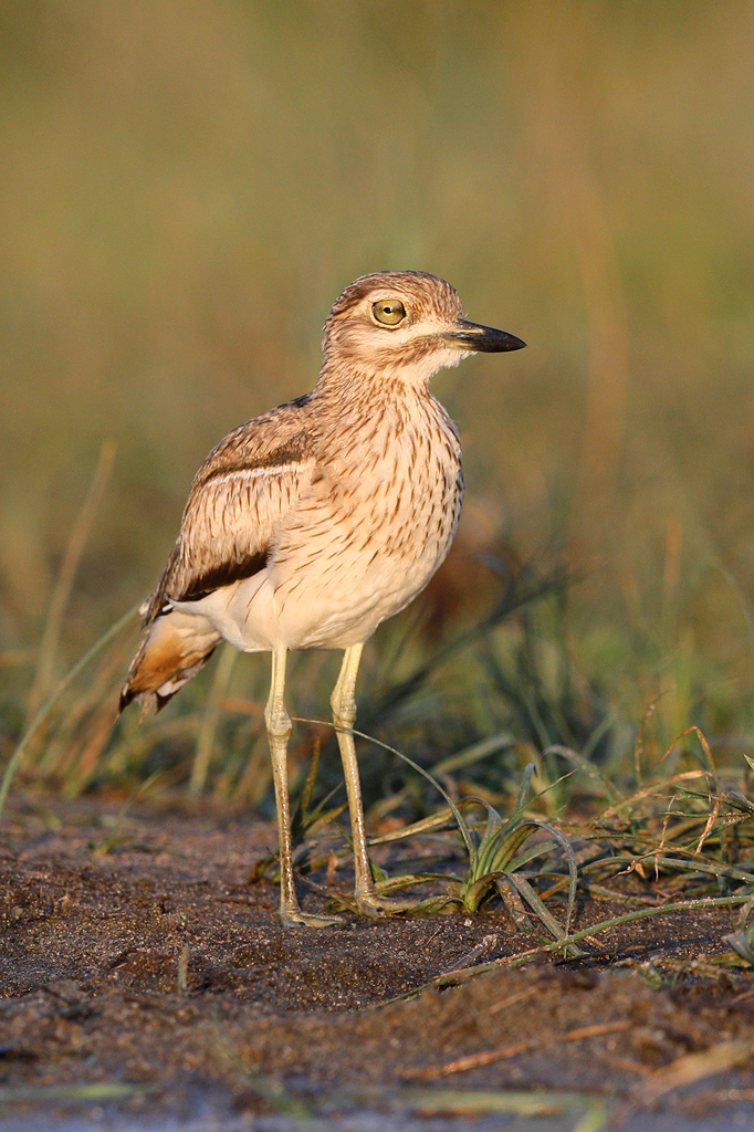 Water Thick-knee / Byamithi Weir, Kruger National Park, South Africa / December 2018