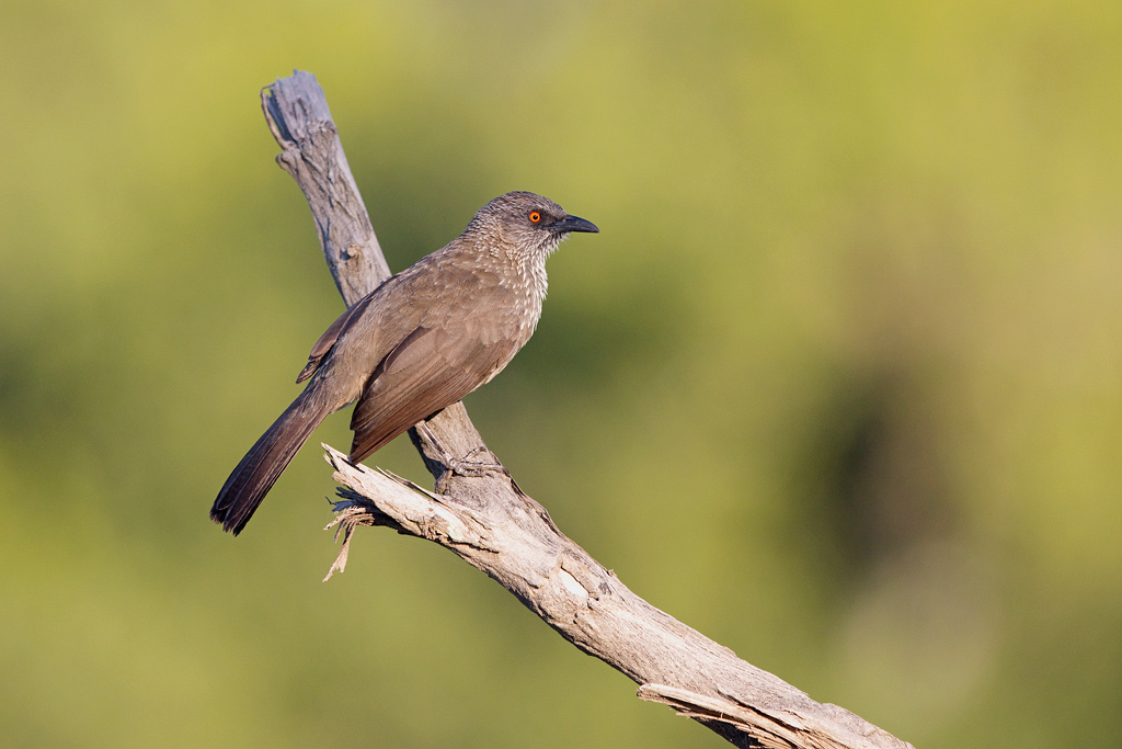 Arrow-marked Babbler / Kruger National Park, South Africa / December 2018