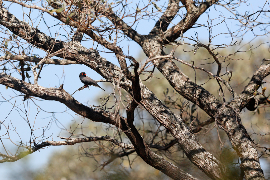 Retz Helmet-shrike / Near Pretoriouskop, Kruger National Park, South Africa / June 2018