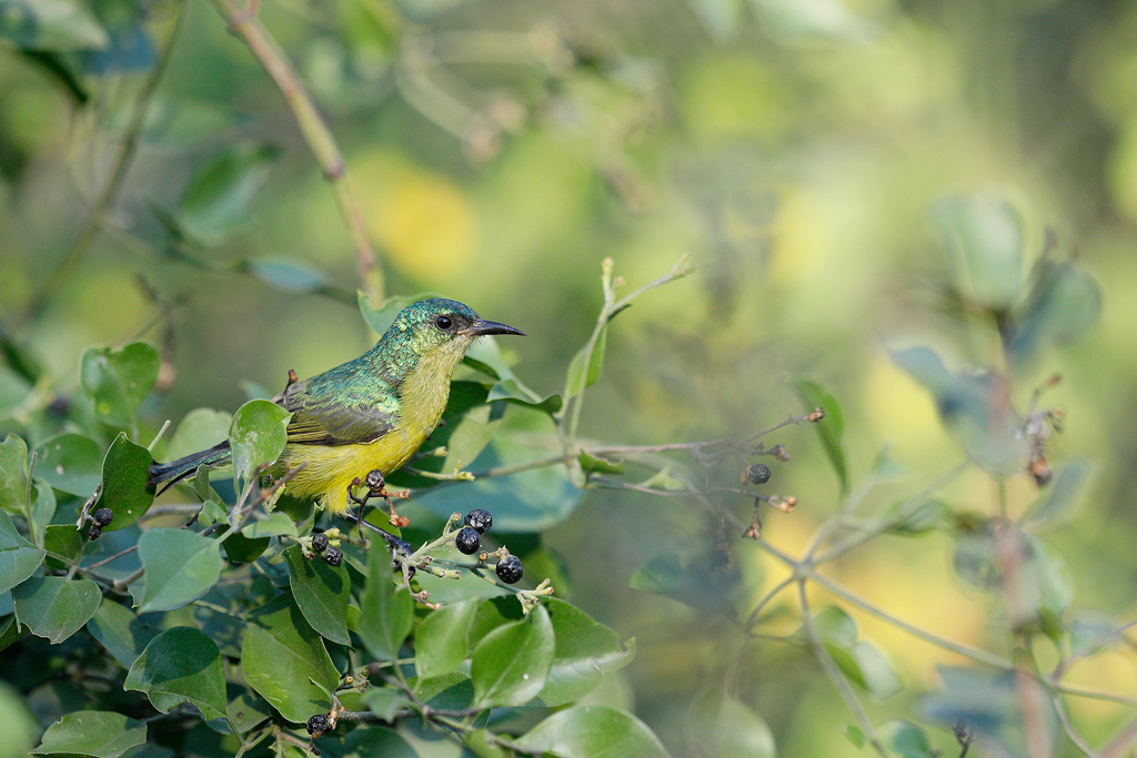 Collared Sunbird / Kruger National Park, South Africa
