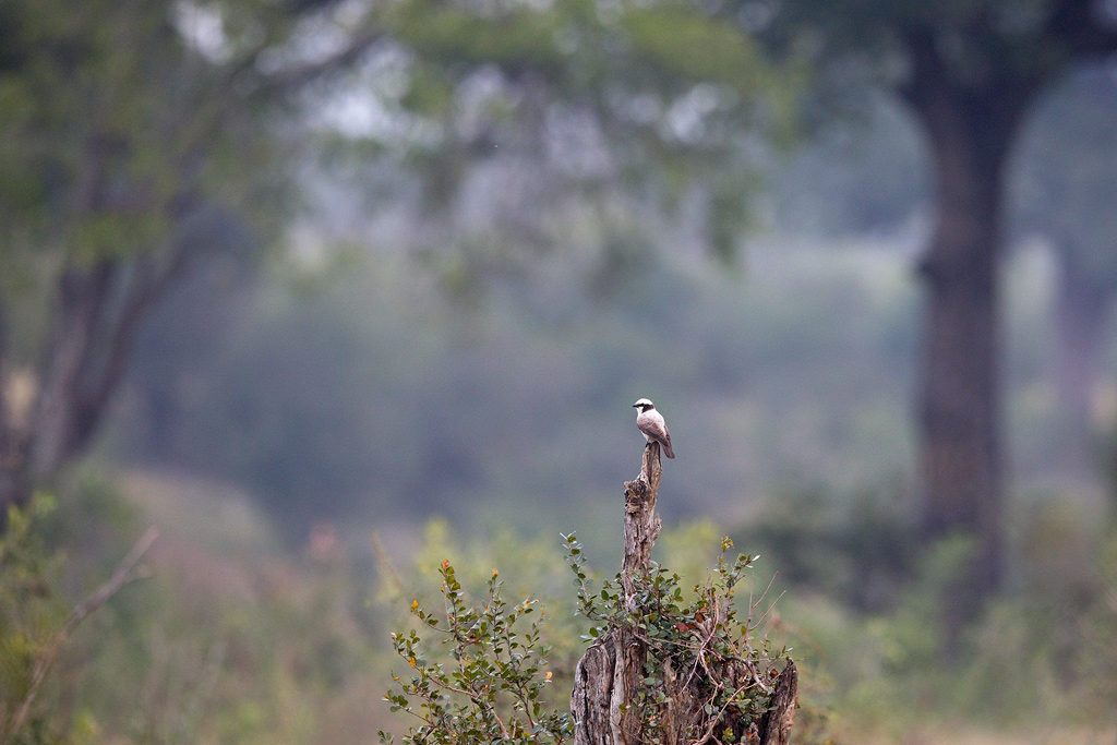 Southern White-crowned Shrike / Kruger National Park, South Africa