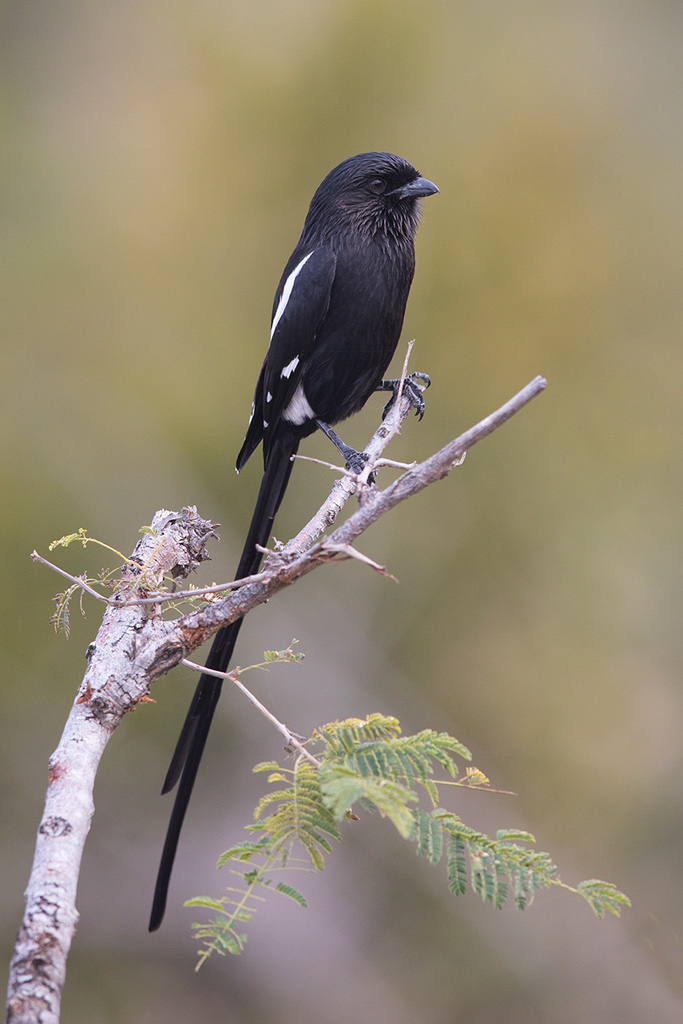 Magpie or Long-tailed Shrike / Southern Kruger National Park, South Africa / June 2018