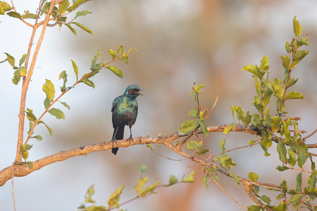 Burchell's Starling / Kruger National Park, South Africa