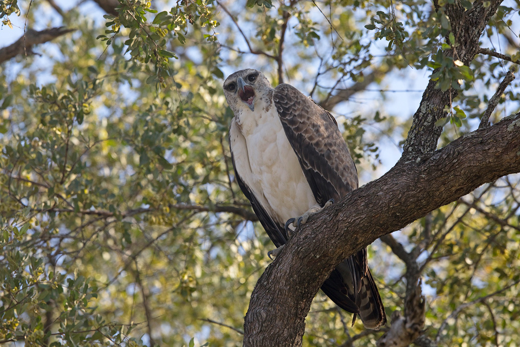 Martil Eagle (sub adult) / Kruger National Park, South Africa / November 2018