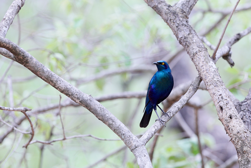 Greater Blue-eared Starling / Berg en Dal Restcamp, Kruger National Park, South Africa / November 2018