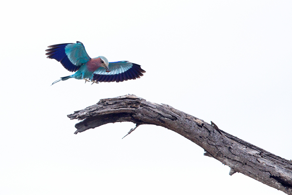Lilac-breasted Roller / Kruger National Park, South Africa / November 2018