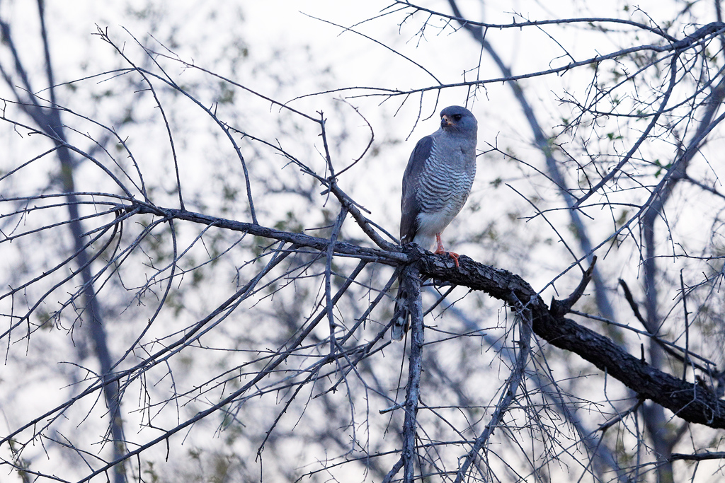 Gabar Goshawk / Kruger National Park, South Africa / November 2018